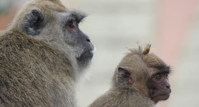 monkey father and son